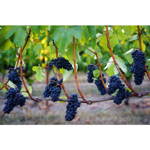 Vinskole for kvinder 6/9: Pinot Noir fra hele verden.-31