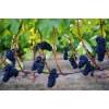 Vinskole for kvinder 6/9: Pinot Noir fra hele verden.-01